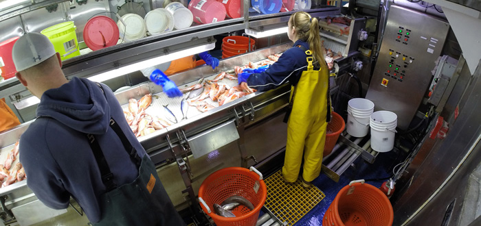 Sorting fish on a NOAA ship